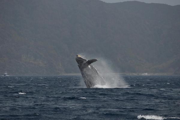 【1日】世界自然遺産・小笠原諸島でじっくりホエールウォッチング☆