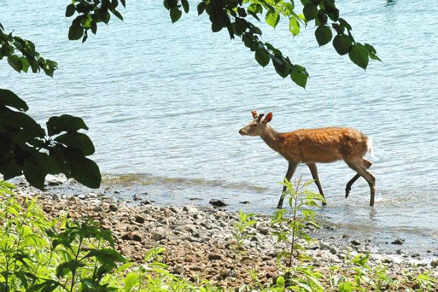 【北海道・洞爺湖・自然体験】気分は冒険家!無人島・中島でエゾシカを探そう!