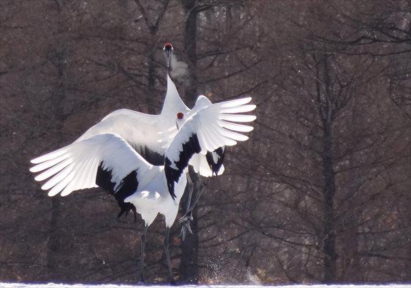 【早朝・3.5時間】冬の釧路湿原・タンチョウ観察プラン