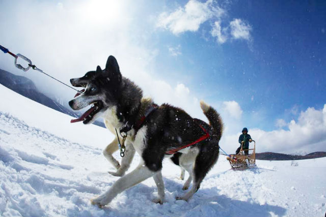 【1日】ランチ付き★犬ぞり1DAYアドベンチャー(送迎&防寒装備無料サービス!)