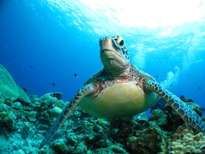 【慶良間諸島・カメ観察体験ダイビング・1日】ウミガメに会いに行こう!保障つきダイビング
