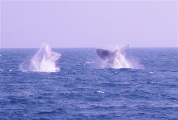 【沖縄・ホエールウォッチング】冬だけの感動体験!慶良間の海へザトウクジラに会いに行こう