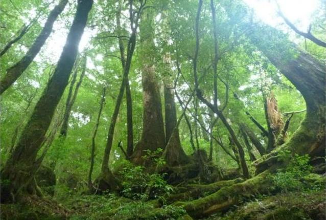 【1日】自然をたっぷり楽しみたい方に!ヤクスギランドをハイキング!