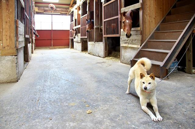 【馬のお世話】鳥取・大山で厩務員体験。馬と友達になろう!