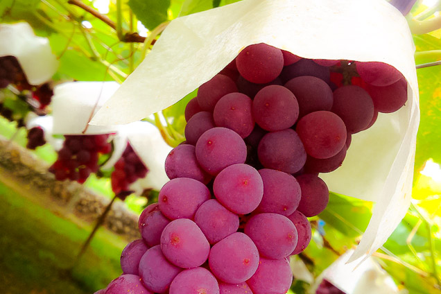 山梨・笛吹・ワイン造り