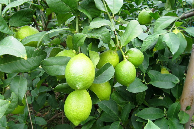 【淡路島・珍しいレモン狩り】9月初旬〜12月初旬。個性の異なる2種類のレモンを味くらべしよう