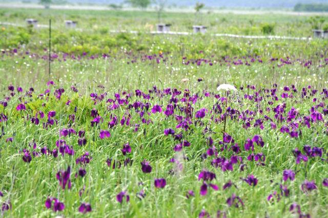 【北海道・ガイドツアー・3時間】蝶のように花を愛でるひと時を。夏の霧多布ツアー・ロングコース