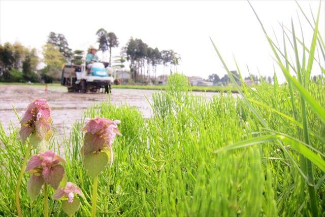 【富山・稲刈り】米どころ富山県で稲刈り体験!たくましく育ったお米を刈ってみよう