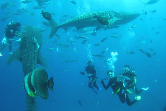 【沖縄・体験ダイビング】大迫力!ジンベエザメの餌付けを至近距離で観察しよう!