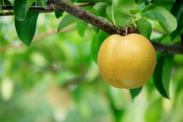【熊本・梨狩り】熊本市で梨狩り。熊本の大地が育む絶品、完熟梨を味わおう