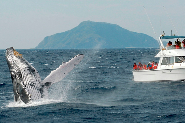 【沖縄・座間味・ホエールウォッチング】迫力満点!クジラのブローで幸せを見つけよう