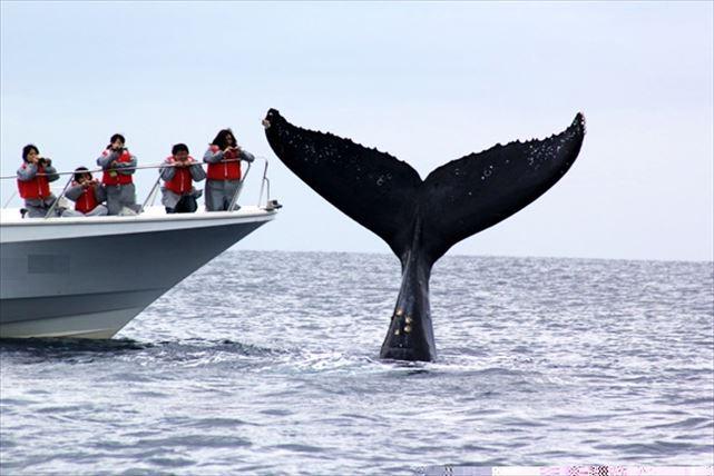 【沖縄・ホエールウォッチング】全額返金制度で安心!伊江島沖合いでザトウクジラを見よう