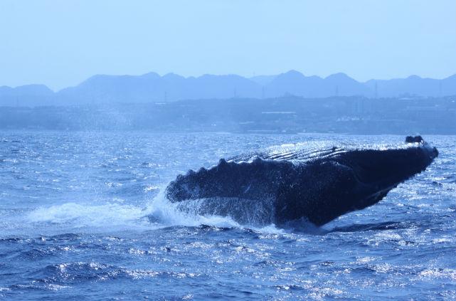【沖縄・北部・ホエールウォッチング】クジラとの出会いに感動!大迫力のホエールウォッチング
