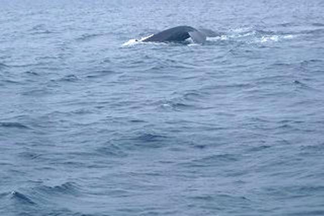 【沖縄・中部・ホエールウォッチング】群れで泳ぐクジラと出会おう!ホエールウォッチングプラン