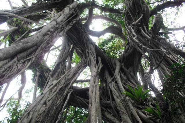 【屋久島・エコツアー】屋久島で自然体験!ヤクスギランドでハイキング&紀元杉を見に行こう