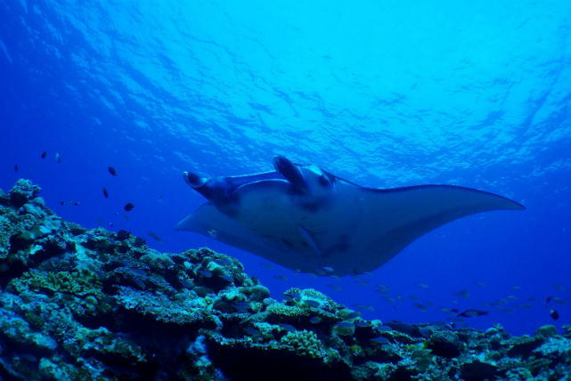 【石垣島・シュノーケリング】幻の島に上陸!マンタシュノーケリング&体験ダイビング