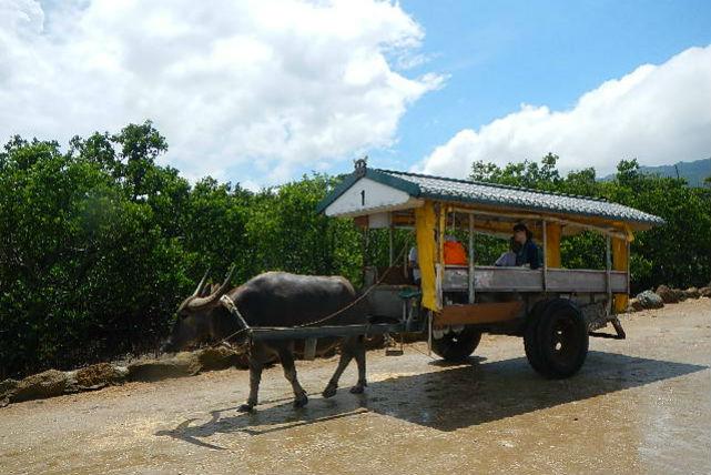 【西表島・1日・ピナイサーラ滝壺ツアー】午後は水牛車観光で由布島へ!CMで見たあの景色を堪能!