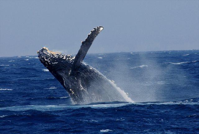 【沖縄・那覇発・ホエールウォッチング】クジラ博士とホエールウォッチングに行こう!