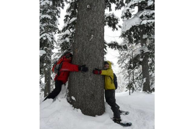 【北海道・富良野・スノートレッキング】巨木たちに囲まれて、まるで小人の気分!原生の森ツアー