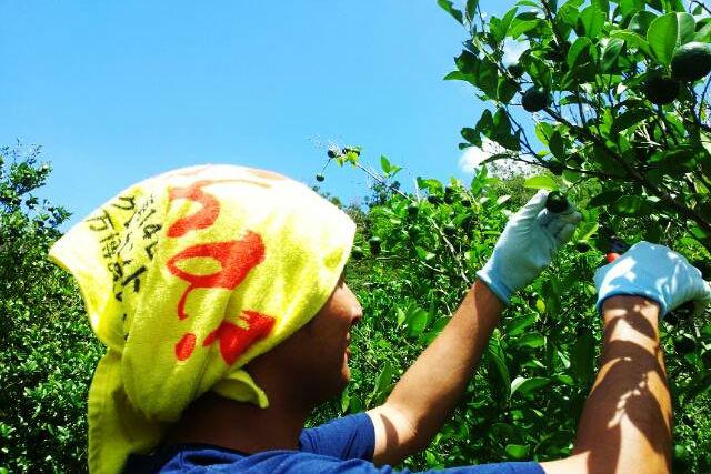 【沖縄北部・沖縄文化体験】島人の農業時間を満喫!シークワーサー畑で収穫体験!
