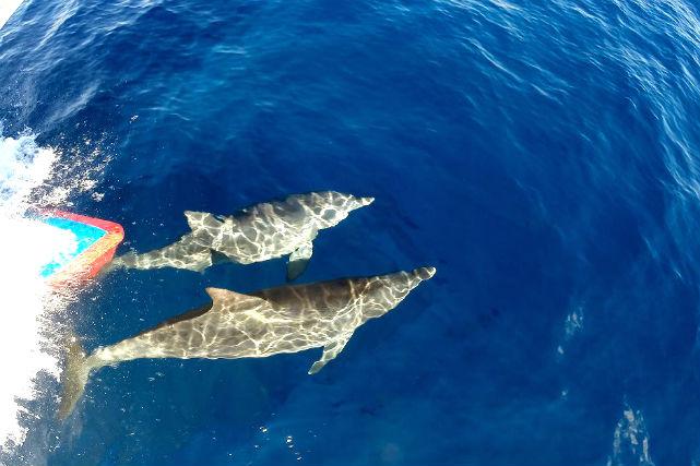 【三宅島・ダイビング】憧れのイルカたちと競泳!御蔵島ドルフィンスイムツアー