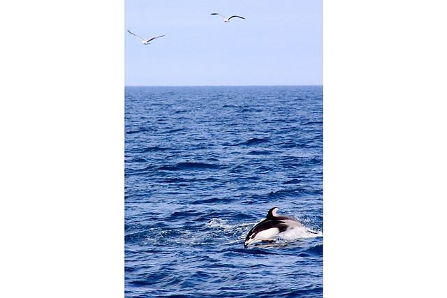 【北海道室蘭・イルカウォッチング】感動いっぱい!迫力のイルカ&クジラウォッチング!