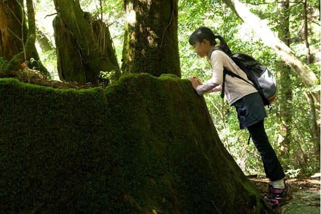 【屋久島・ヤクスギランド・1日ハイキング】屋久杉の原風景を歩こう!ヤクスギランド一日ツアー