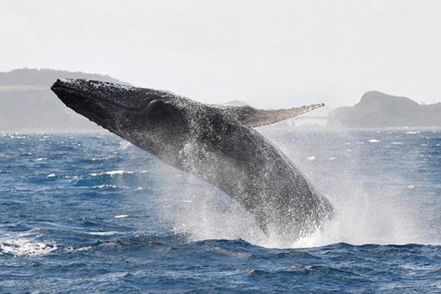 【沖縄・座間味島・ホエールウォッチング】迫力満点!ダイナミックなクジラたちに会いに行こう!(2時間)