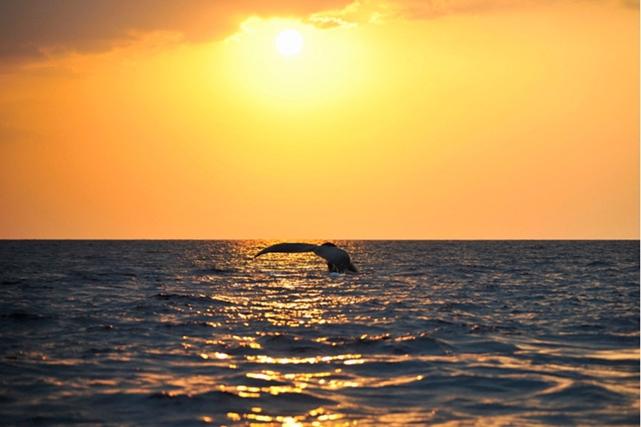 【沖縄・座間味島・ホエールウォッチング】感動の景色と一緒に、クジラ鑑賞!サンセット・サンライズプラン