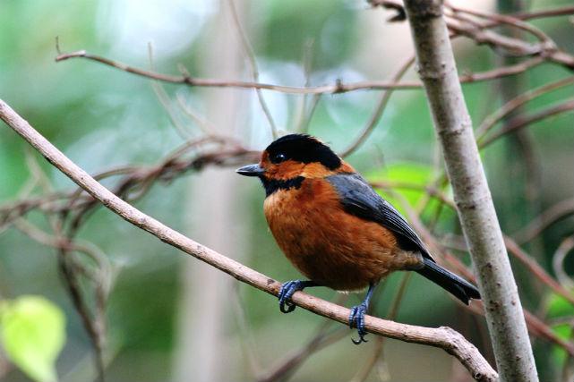 【三宅島・バードウォッチング】天然記念物を間近に観察!三宅島ならではの野鳥に遭遇