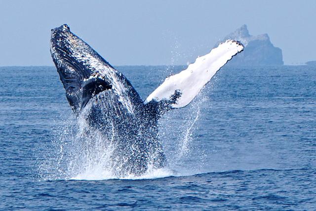 【奄美大島・ホエールウォッチング】期間限定!ザトウクジラを見に行こう!