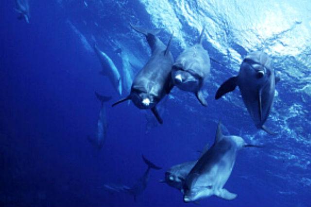 【三宅島・イルカスイミング・ダイビング】御蔵島で、野生のイルカたちと一緒に泳ごう!