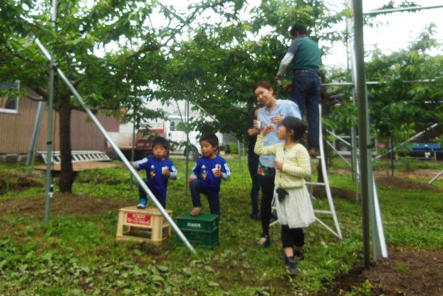 【秋田県大仙市・さくらんぼ狩り】お子さま大歓迎。旬の味覚を楽しむ、さくらんぼ狩り