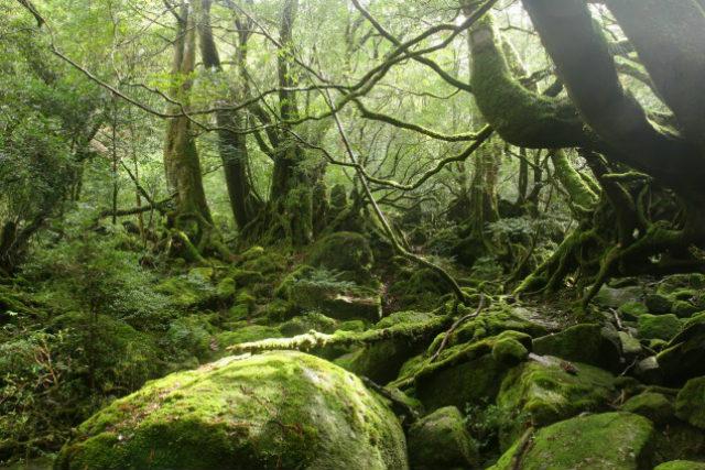 【屋久島・エコツアー】初心者向け!雨の日は一層美しい、白谷雲水峡をトレッキング!