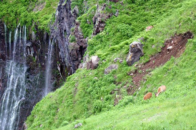 【知床・トレッキング】鹿に会えるかも!フレペの滝を目指す爽快トレッキング!