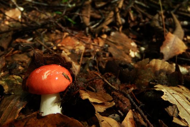 【青森・十和田・ガイドツアー】蔦の森できのこを撮影!のこのこ歩いて魅力を知ろう