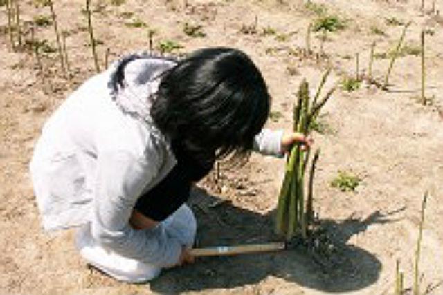 【北海道・富良野・農業体験】北海道の味を堪能しよう!アスパラ刈り&バター作り体験