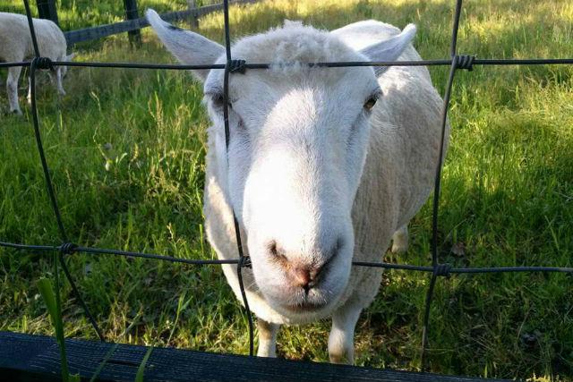 【北海道・富良野・牧場体験】かわいい羊とふれあおう!羊のエサやり体験