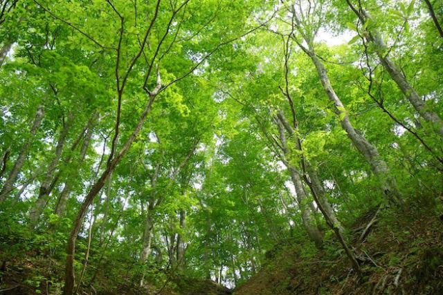 【青森・弘前・エコツアー】震災復興支援プラン!世界遺産地区内のブナ林をゆっくり歩こう