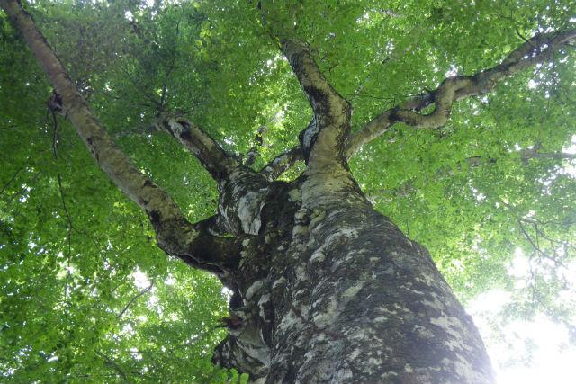 【青森・弘前・トレッキング】樹齢400年!マザーツリー&ブナ巨木ふれあいの径プライベートツアー