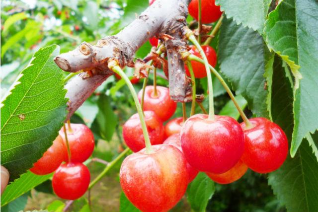 【青森・弘前・さくらんぼ狩り】宝石のような果実を収穫!さくらんぼ狩りプラン
