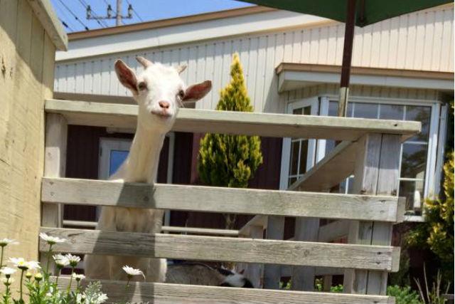 【函館市・牧場体験】ヤギや牛と触れ合おう!命の尊さと食べることの大切さを学ぶ体験