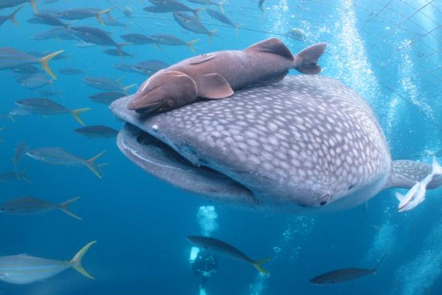 ジンベイザメの体長