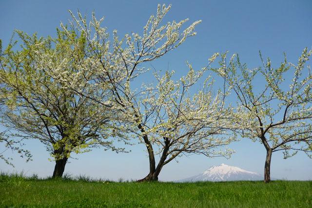 【青森・農業体験】りんご栽培の重要なポイント!剪定作業を体験しよう