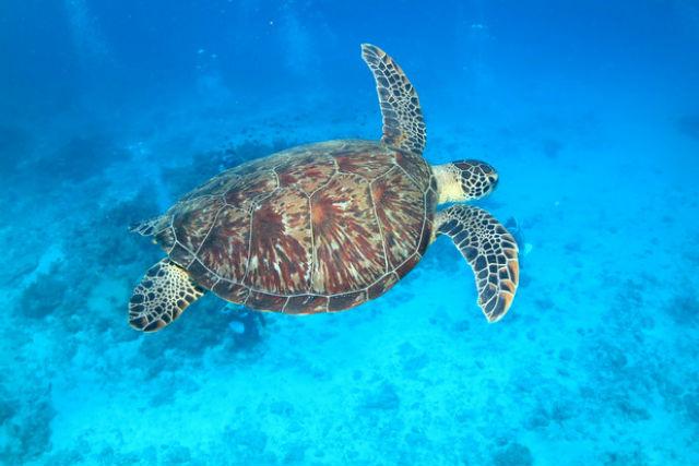 【沖縄・ファンダイビング】世界でも珍しい!ジンベエザメと一緒に2ボートダイビング