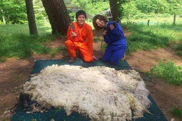 【山梨・河口湖・牧場体験】羊飼い気分で楽しもう!羊の毛刈りプラン