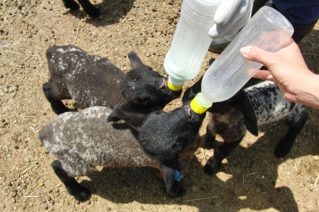 【山梨・河口湖・牧場体験】子羊にミルクをあげてみよう!緑豊かな牧場での体験