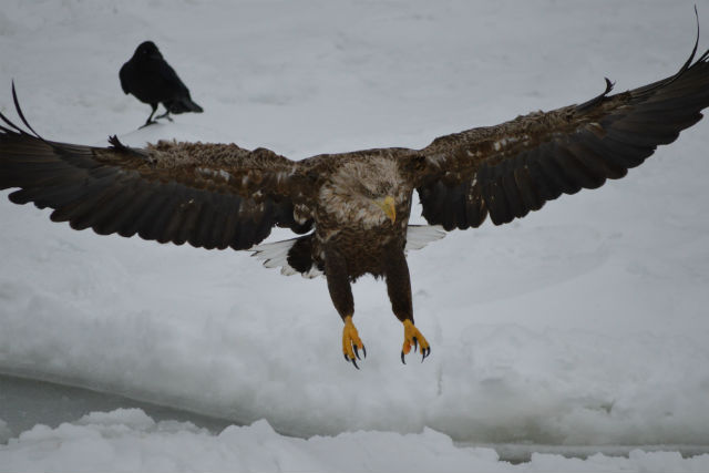 【知床羅臼・流氷ウォッチング】生命のドラマを感じる旅!野生動物との出会いも楽しい流氷クルーズ