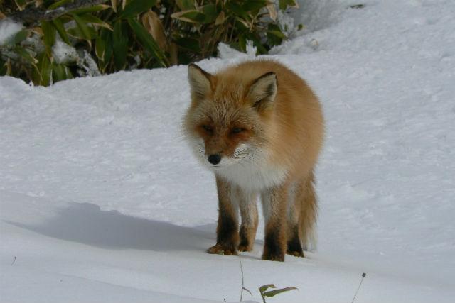 【北海道・知床・ガイドツアー】冬の大地に息づく野生動物!リアルな姿を観察しよう
