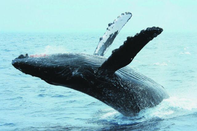 【沖縄・北谷発着・ホエールウォッチング】冬季限定!みんなでクジラを観察しよう